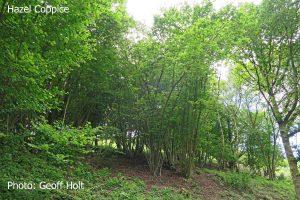 IMG_2601-Hazel-Coppice