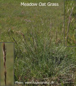 Meadow-oat-grass