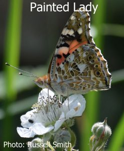Painted-Lady_DSC_0901