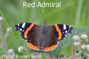 Red-Admiral_DSC_0786