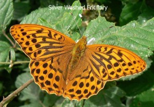 Silver-Washed-Fritillary1