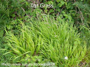 Tor-grass