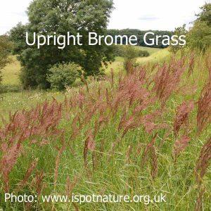 Upright-brome