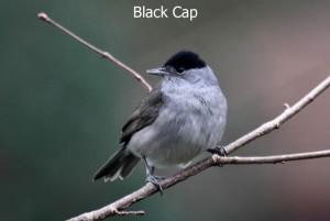 Black-Cap1