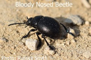 Bloody-Nosed-Beetle-DSC_0038