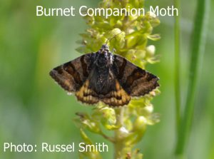 Burnet-Companion-Moth-DSC_0655