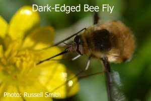 Dark-Edged-Bee-Fly-DSC_0035