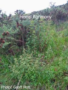 Hemp-Agrimony
