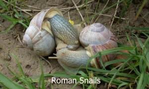Roman-Snails1