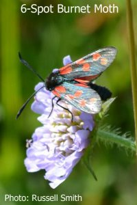 Six-Spot-Burnet-Moth-DSC_0033