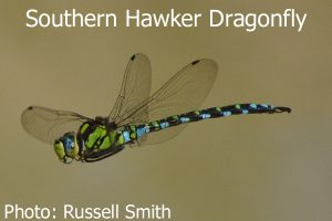 Southern-Hawker-Dragonfly-DSC_1430