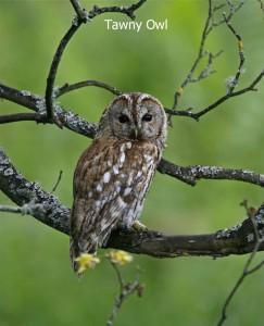 Tawny-Owl1