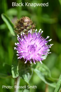 Black-Knapweed-DSC_0020