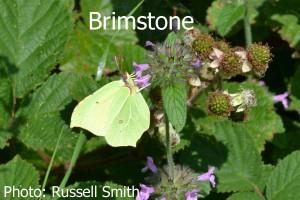 Brimstone_DSC_1219