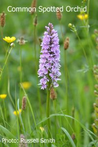 Common-Spotted-Orchid_DSC_0654