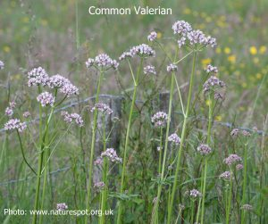 Common-Valerian