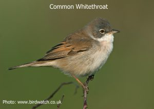 Common-Whitethroat