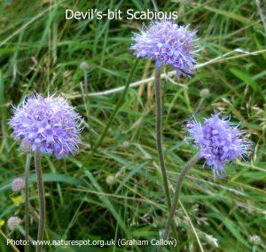 Devil's-bit-Scabious