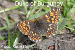 Duke-of-Burgundy_DSC_0487