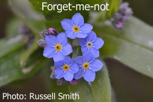 Forget-Me-Not-DSC_0098