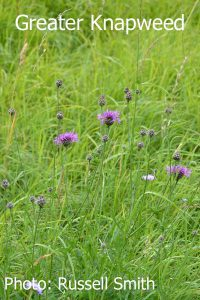 Greater-Knapweed-DSC_1203