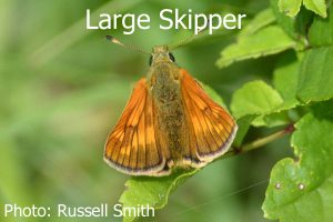 Large-Skipper_DSC_0757