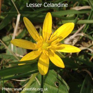 lesser-celandine