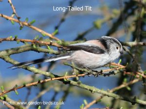 long-tailed_tit