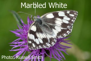 Marbled-White_DSC_1075