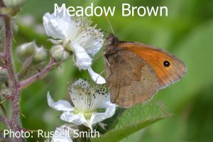 Meadow-Brown_DSC_0769