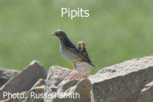 Pipits_DSC_0663