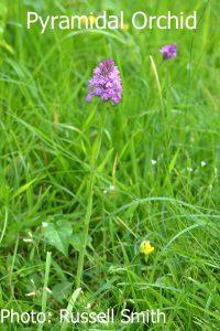 Pyramidal-Orchid-DSC_0701