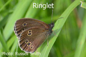 Ringlet_DSC_0766