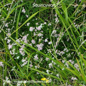 Squinancywort