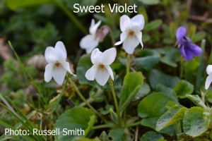 Sweet-Violet-DSC_0093