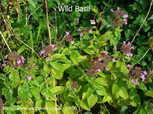 Wild-Basil