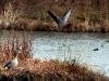 grey-lag-geese-web_0