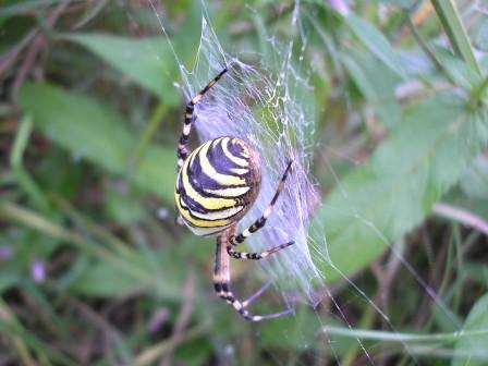 Female Wasp spider in web