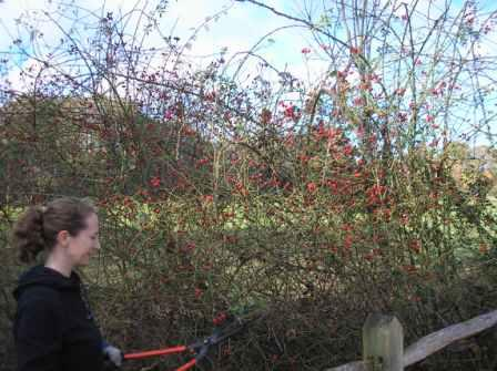 Not cutting the rose hips