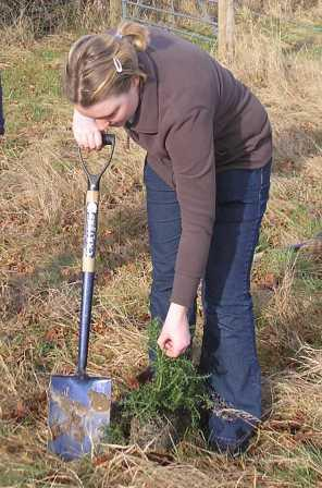 planting spiky gorse!
