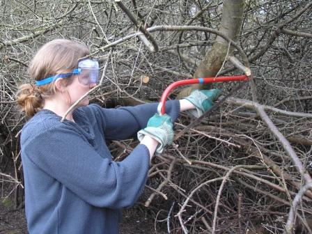 Cutting blackthorn with a bowsaw