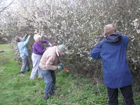 Cutting blackthorn