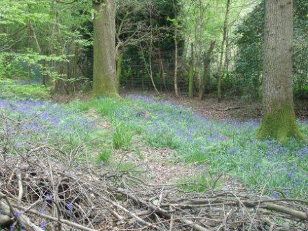 A glade with bluebells