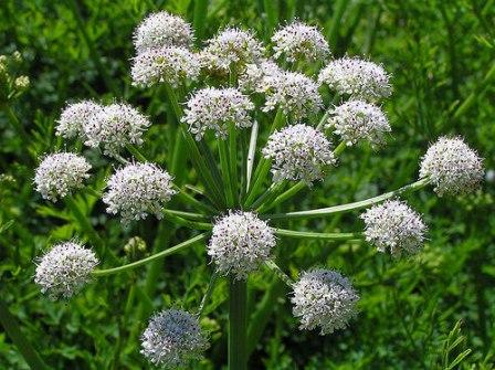 Hemlock-water-dropwort