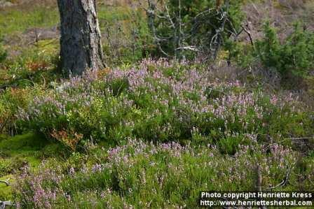 Heather (or calluna vulgaris, if you prefer)