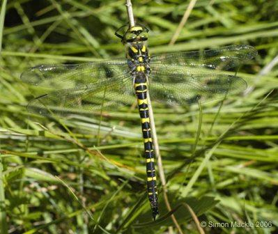 Golden ringed dragon fly (female)