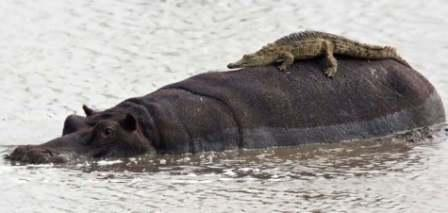 croc basking on a hippo