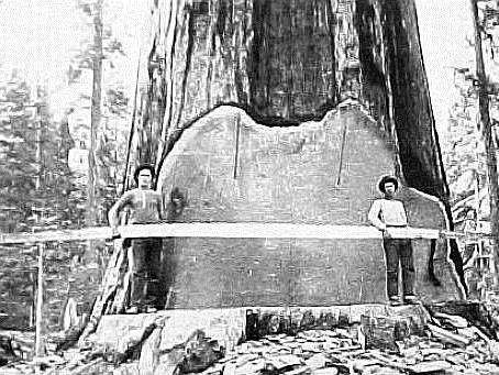 Tree felling - Giant Redwood tree felled in USA (1890)