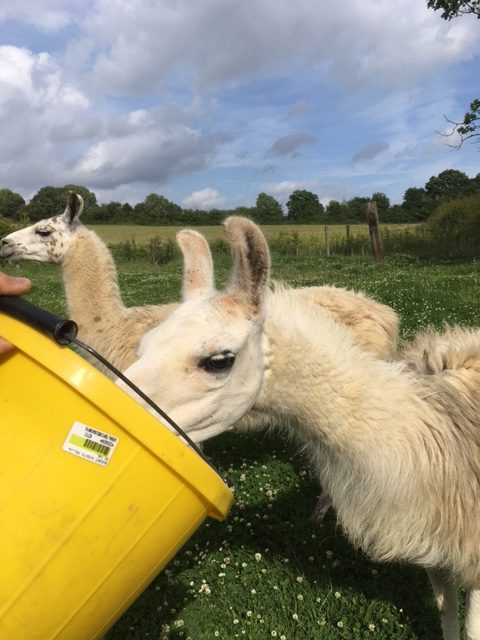 Llama feeding time chesworth farm