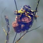Cadis Fly Larva, pond 23-01-2012 (479 x 600)